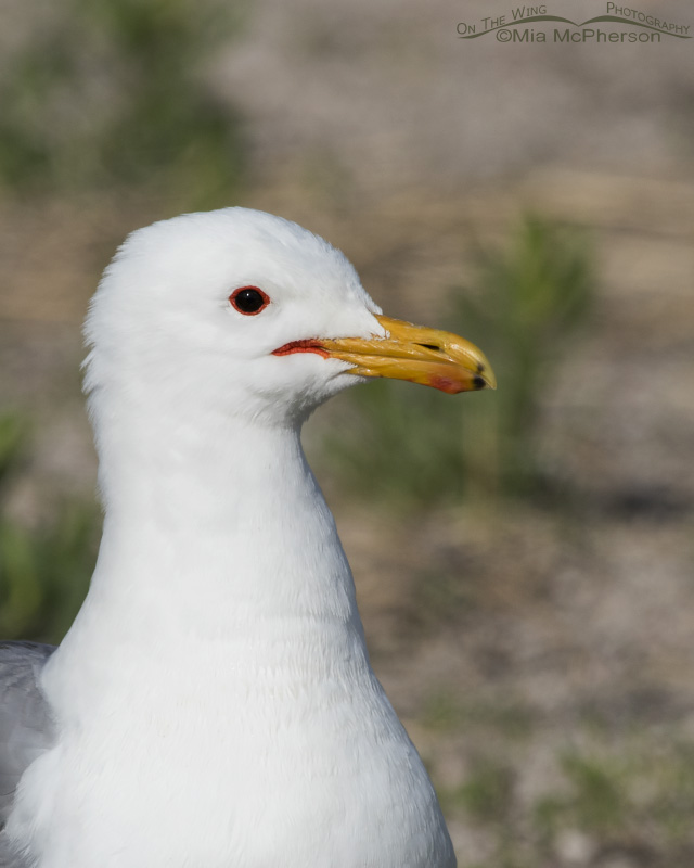 A California Gull up close in breeding plumage