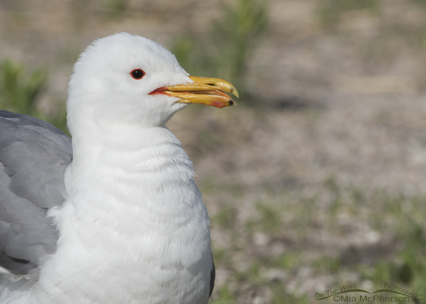 A fluffed up California Gull in breeding plumage