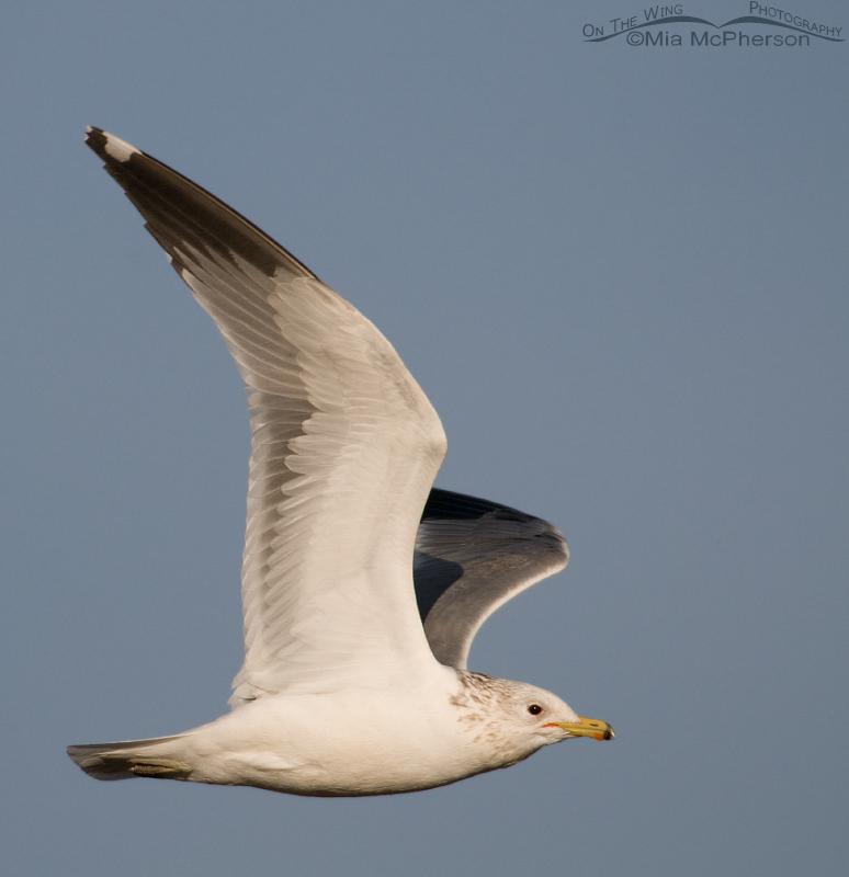 California Gull fly by