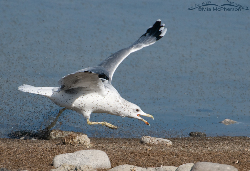 California Gull feeding on Brine Flies 5