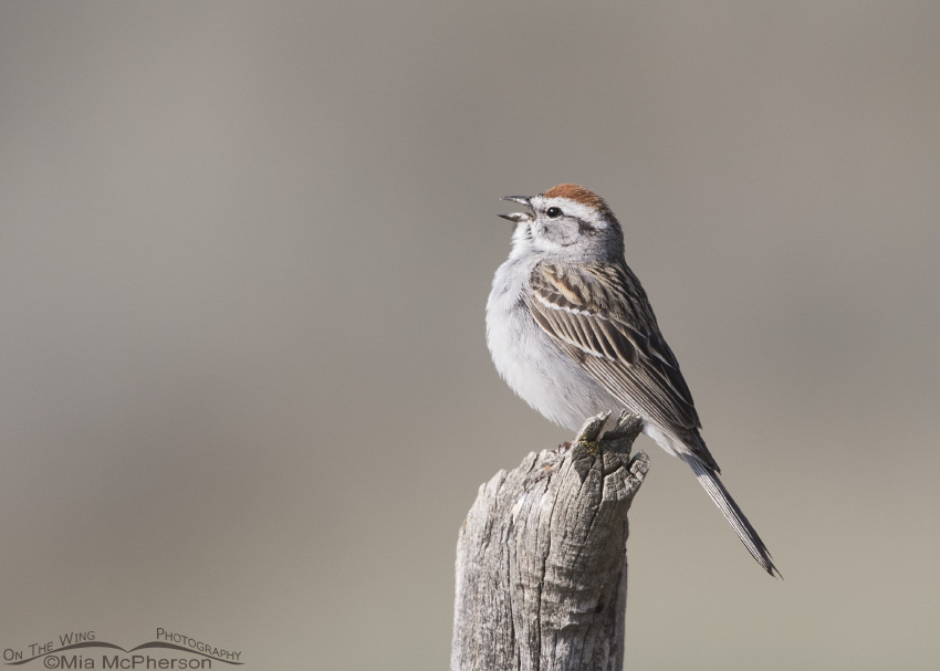 Singing Chipping Sparrow