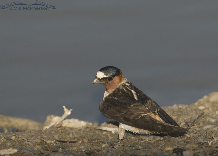 Cliff Swallow gathering mud