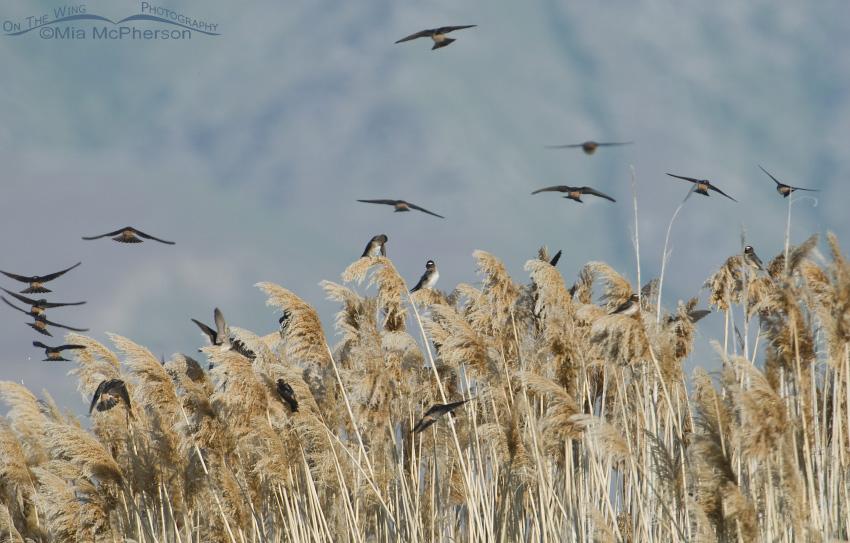 Cliff Swallow flock on Phragmites Pano