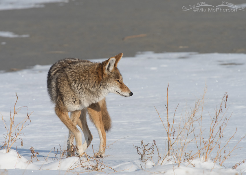 A Coyote hunting near the Great Salt Lake
