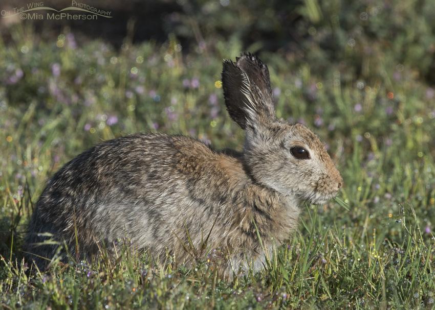 Desert Cottontail nibbling on dew laden grass