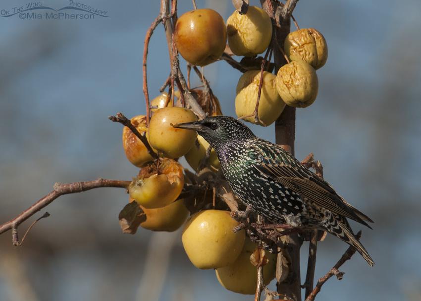 European Starling feeding on fruit