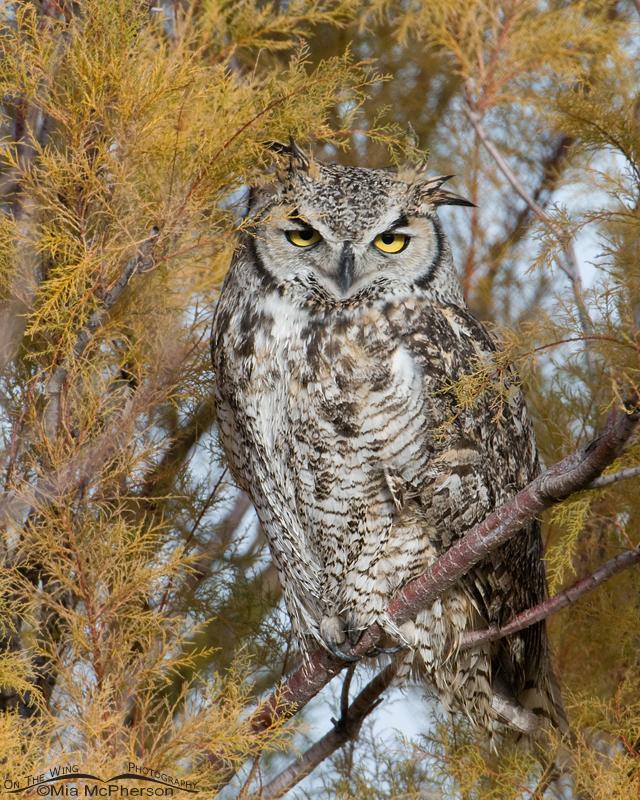 Female Great Horned Owl on Antelope Island
