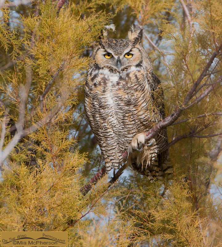 Great Horned Owl perched in a Tamarisk