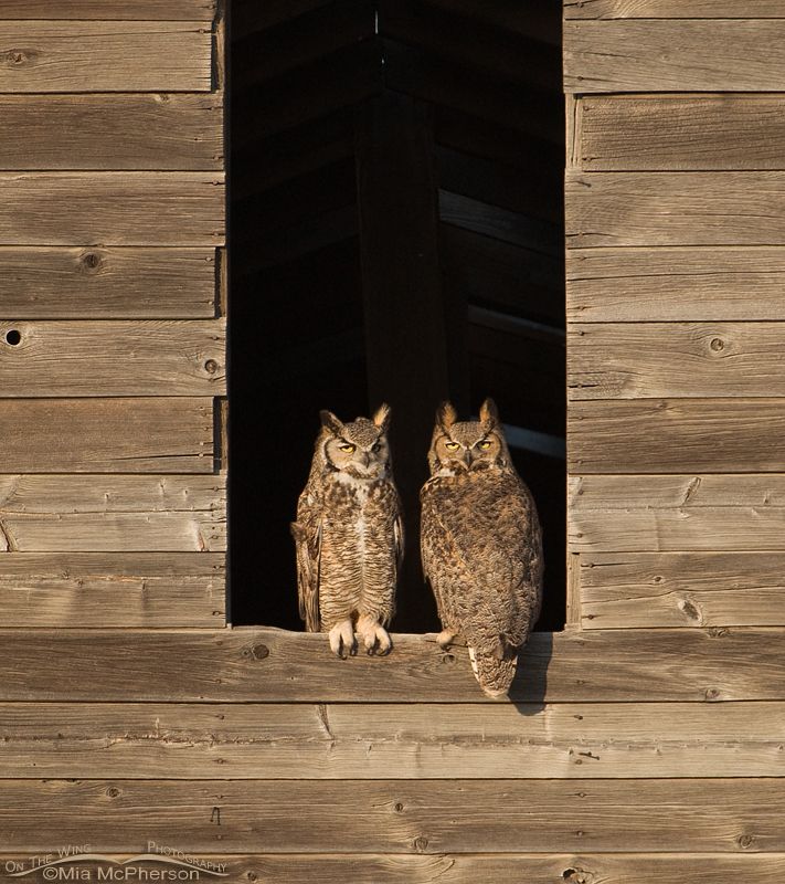 Great Horned Owls in a granary