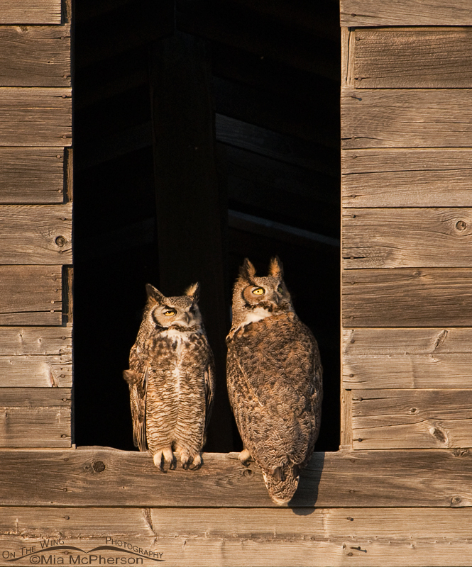 A pair of Great Horned Owls with their eyes on the Montana sky