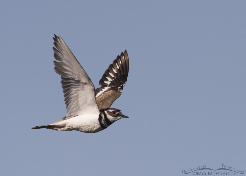 Killdeer in flight over Bear River National Wildlife Refuge