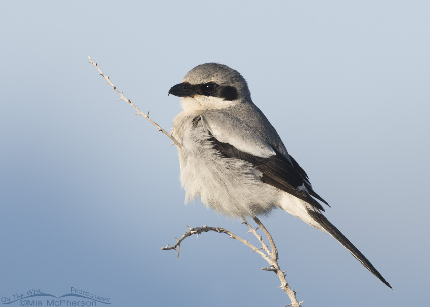 A perched adult Loggerhead Shrike and clear sky