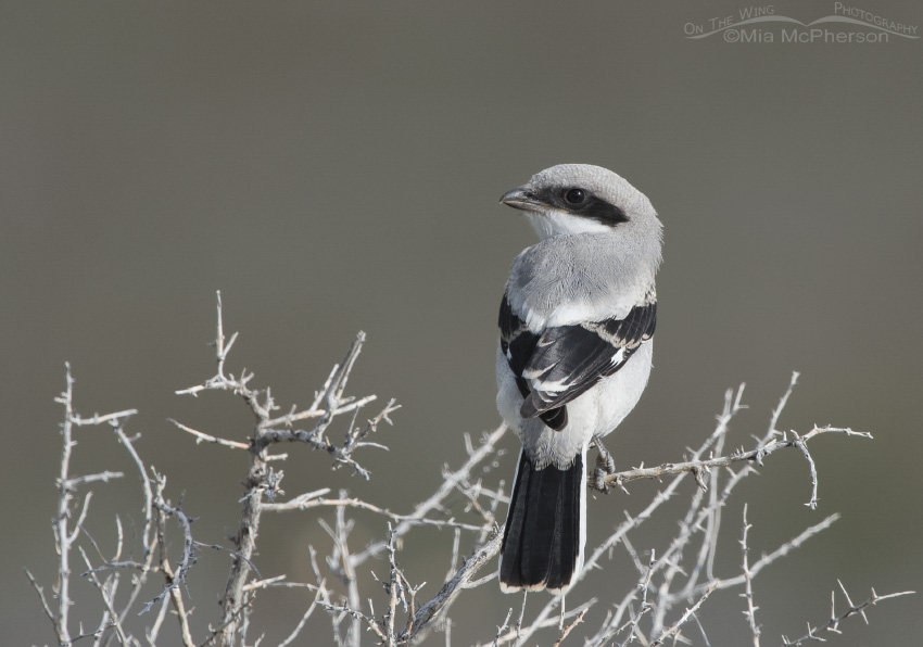 First of year photo of a juvenile Shrike