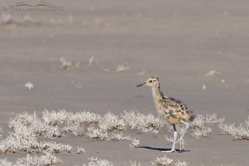 Long-billed Curlew chick at Bear River NWR