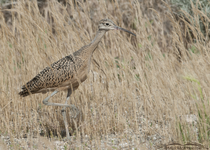 A juvenile Long-billed Curlew on Antelope Island