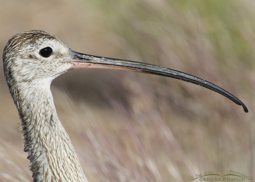 An adult male Long-billed Curlew