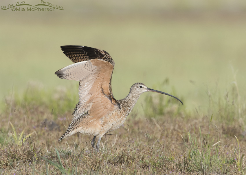 Long-billed Curlew Wing Stretch 01