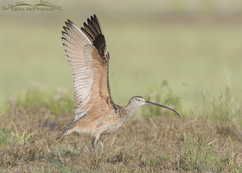 Long-billed Curlew Wing Stretch 02
