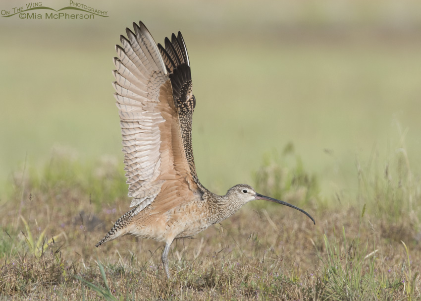 Long-billed Curlew Wing Stretch 03