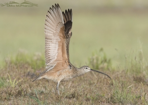 Long-billed Curlew Wing Stretch 04
