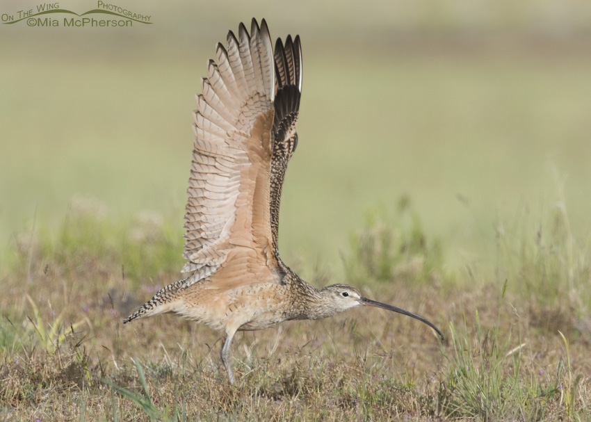 Long-billed Curlew Wing Stretch 05