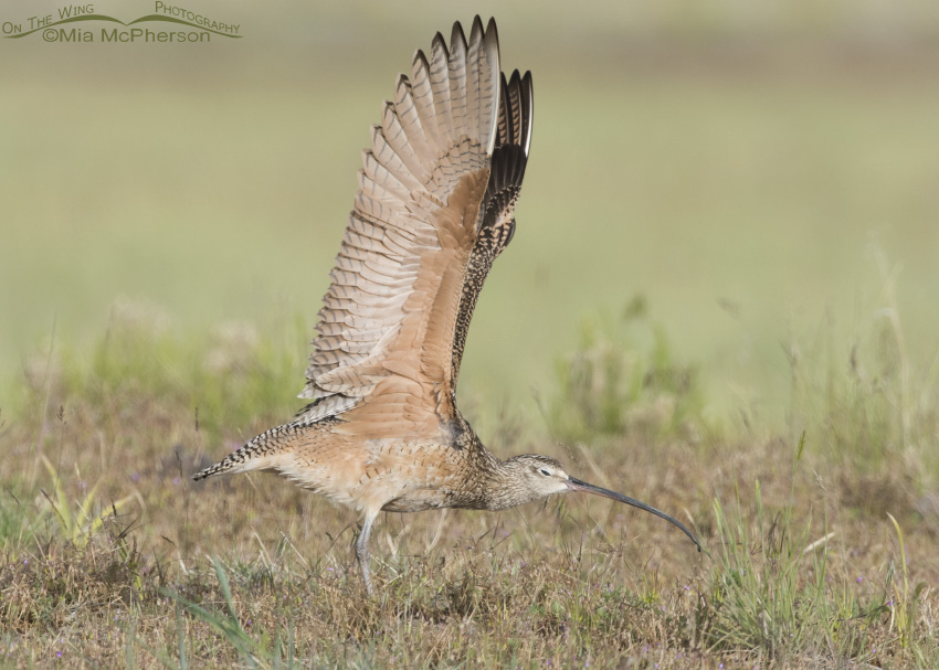 Long-billed Curlew Wing Stretch 06