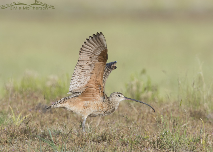 Long-billed Curlew Wing Stretch 07