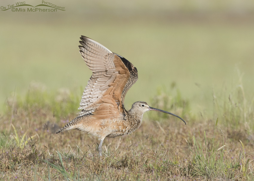 Long-billed Curlew Wing Stretch 08