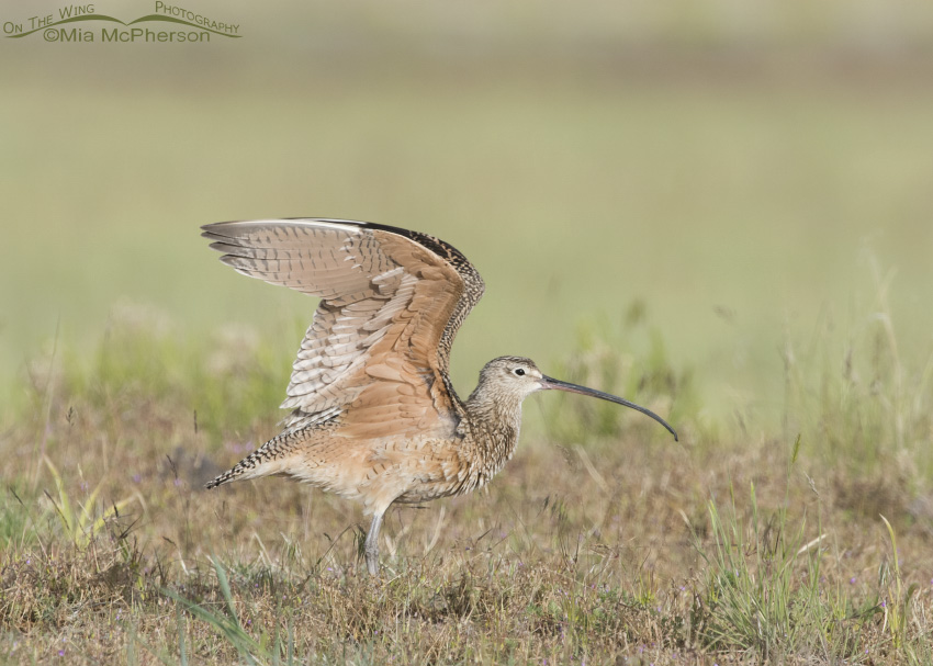 Long-billed Curlew Wing Stretch 09