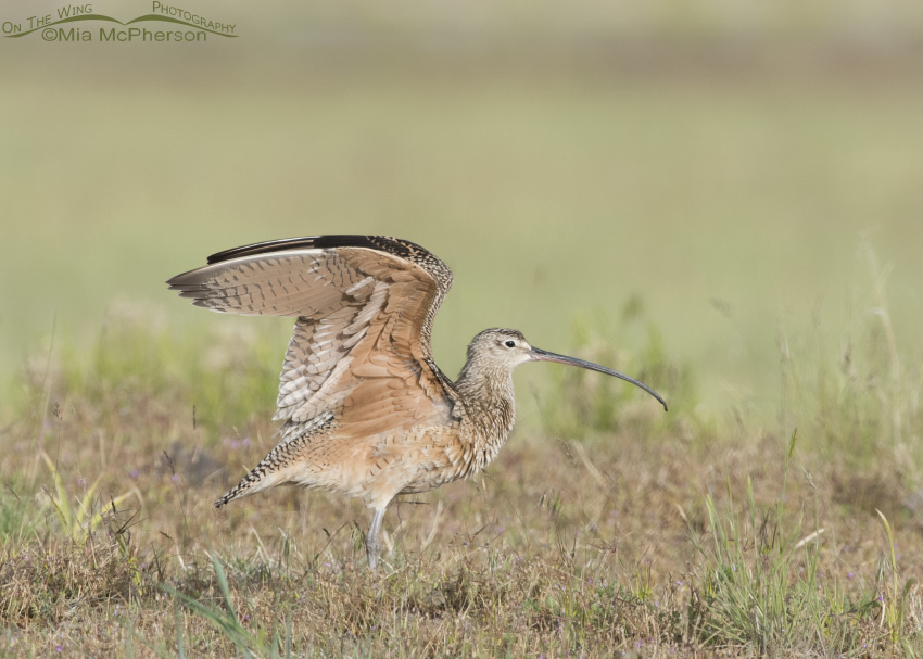 Long-billed Curlew Wing Stretch 10