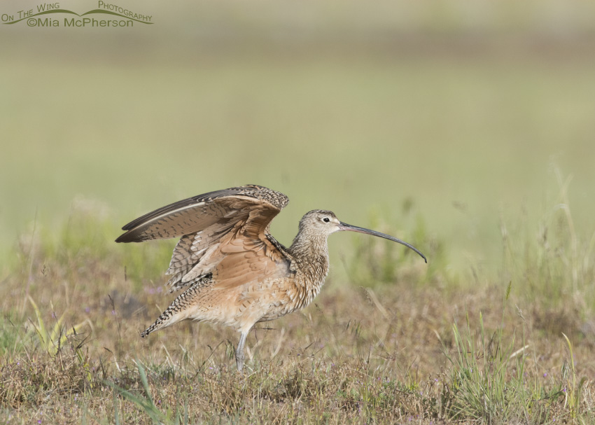 Long-billed Curlew Wing Stretch 11