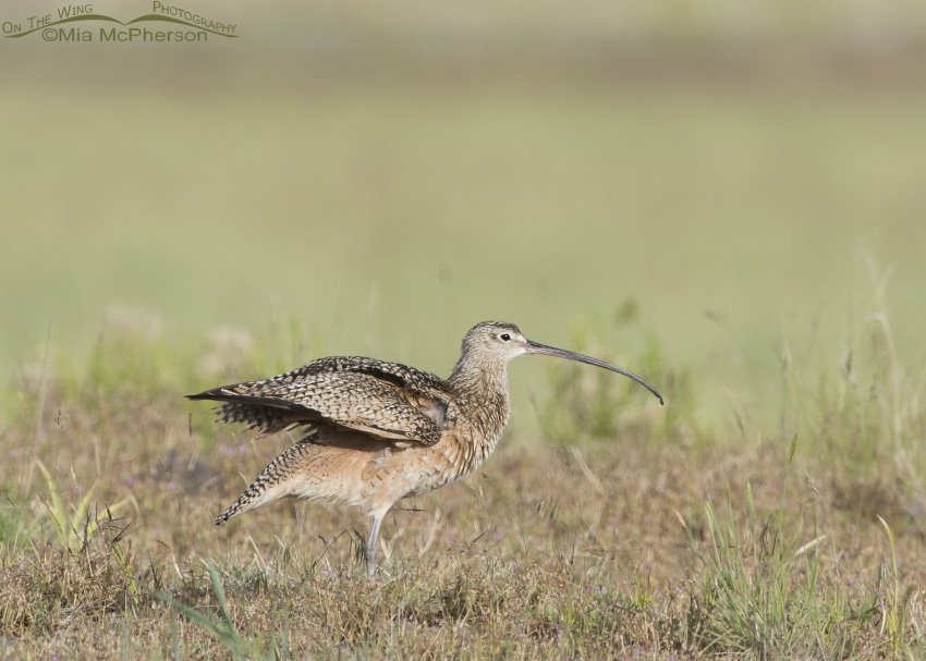 Long-billed Curlew Wing Stretch 12