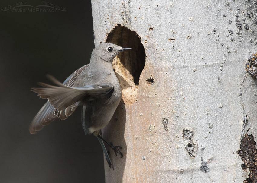 Female Mountain Bluebird at a Northern Flicker nesting cavity