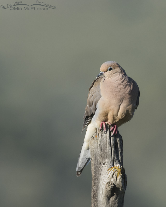 A Mourning Dove perched on an old fence post