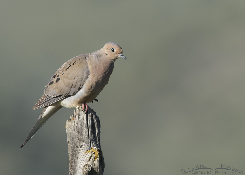 A Mourning Dove in the Stansbury Mountains