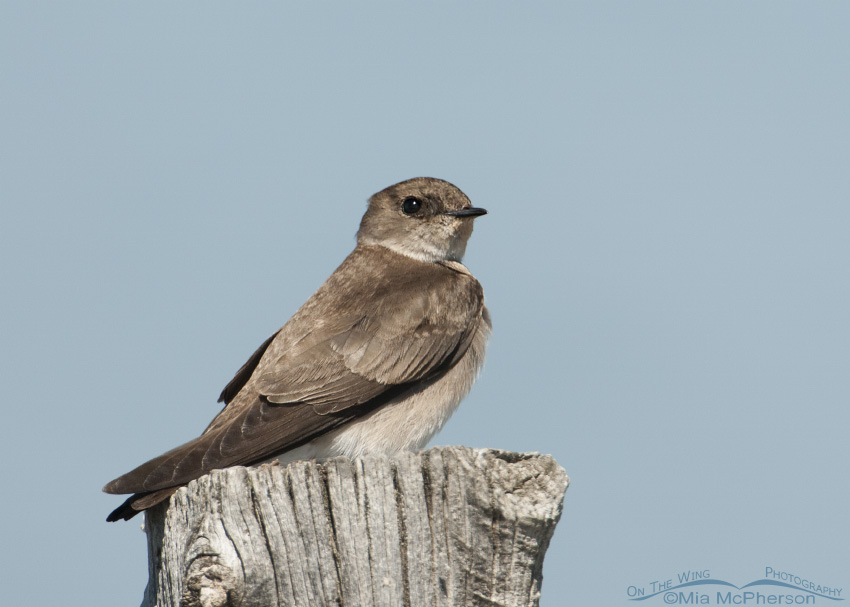 Northern Rough-winged Swallow perched on a fence post