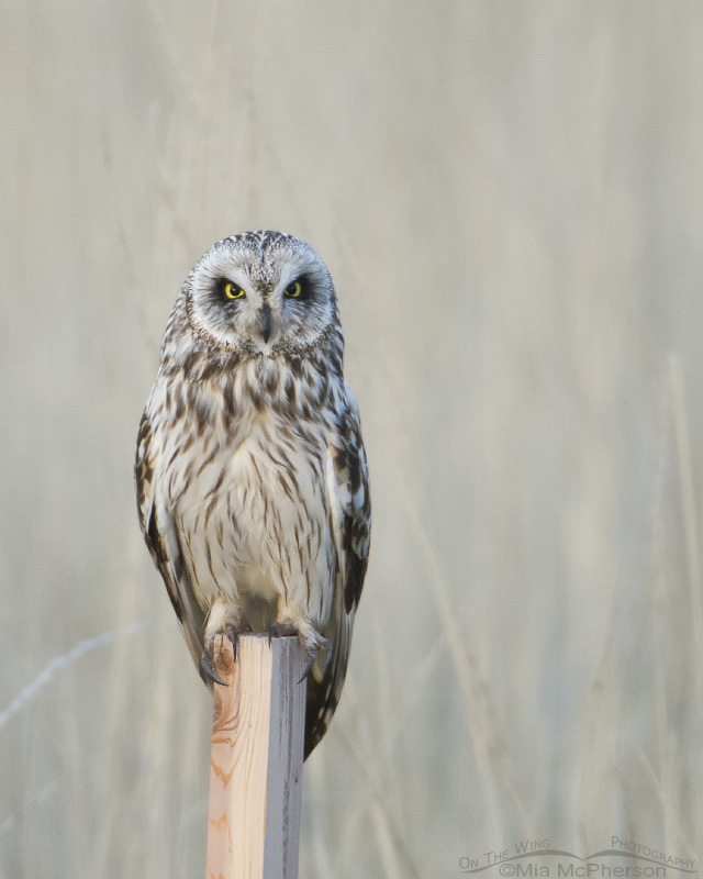 Short-eared owl on post in low light at Bear River MBR