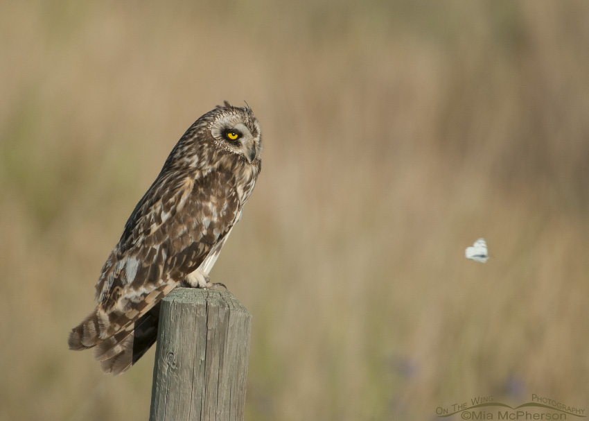 A Short-eared Owl photobombed by a butterfly