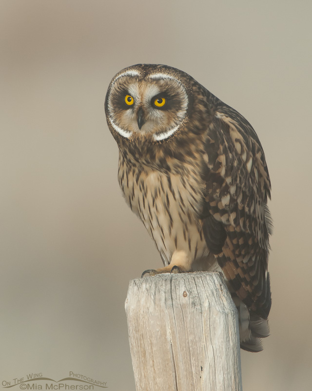 Female Short-eared Owl on a foggy September morning