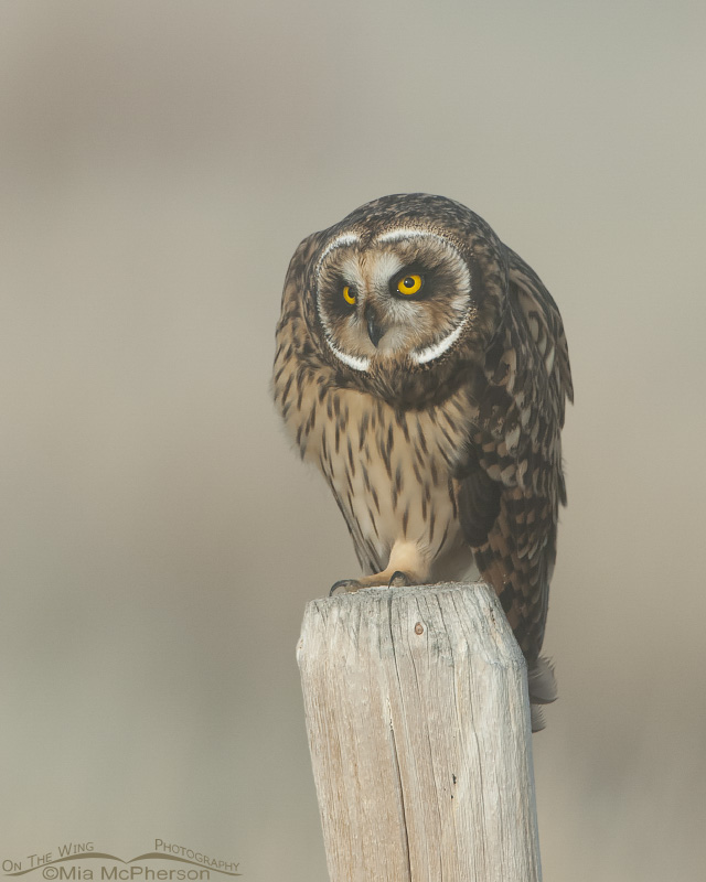 Hunched over Short-eared Owl female