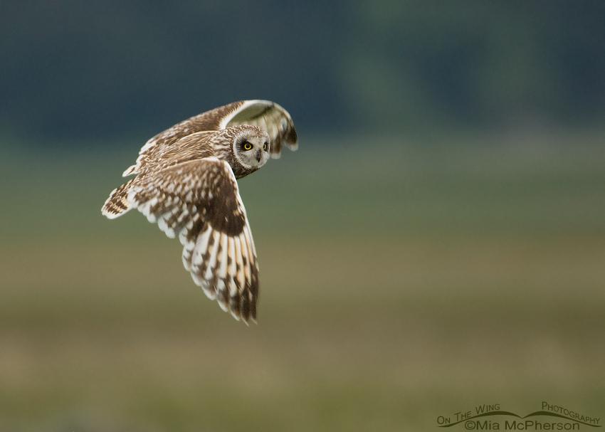 Male Short-eared Owl in flight, Red Rock Lakes NWR, Montana