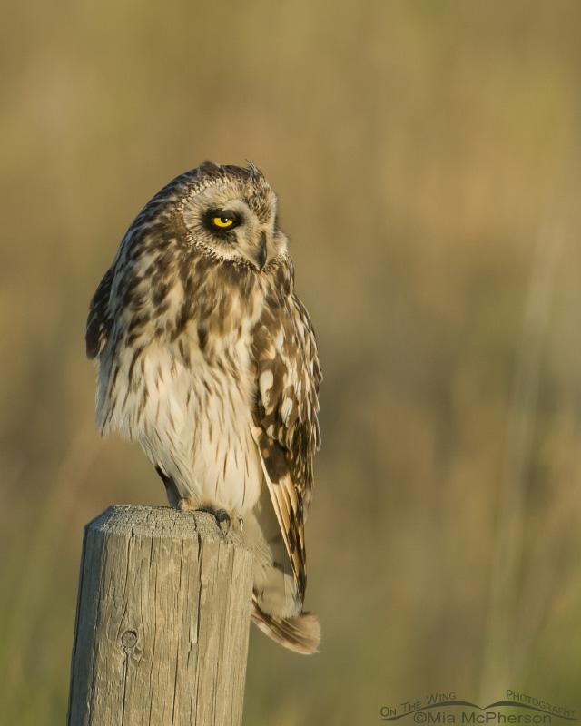 Relaxed Short-eared Owl