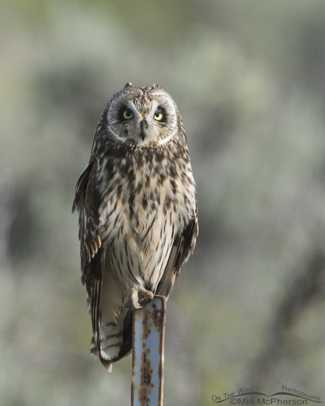 A Tooele County Short-eared Owl