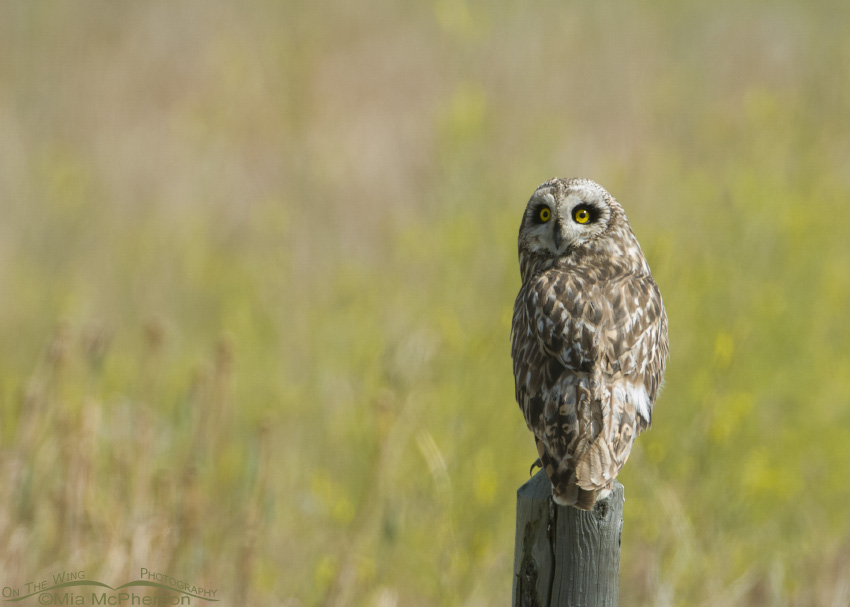 Short-eared Owl with Yellow Sweet Clover in the background