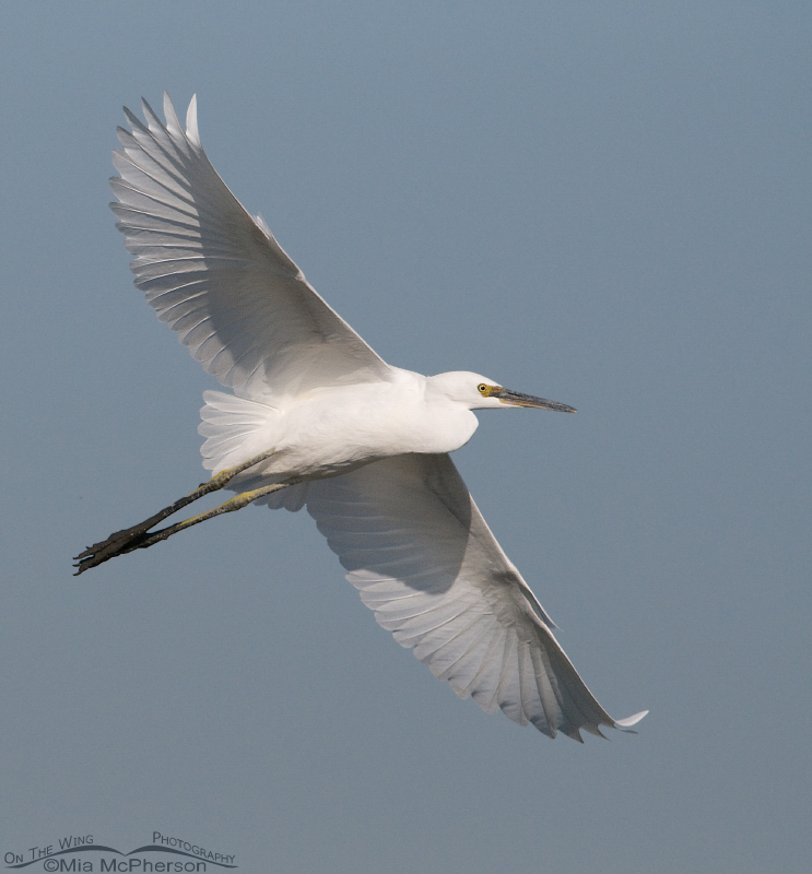 Adult Snowy Egret in flight over Farmington Bay