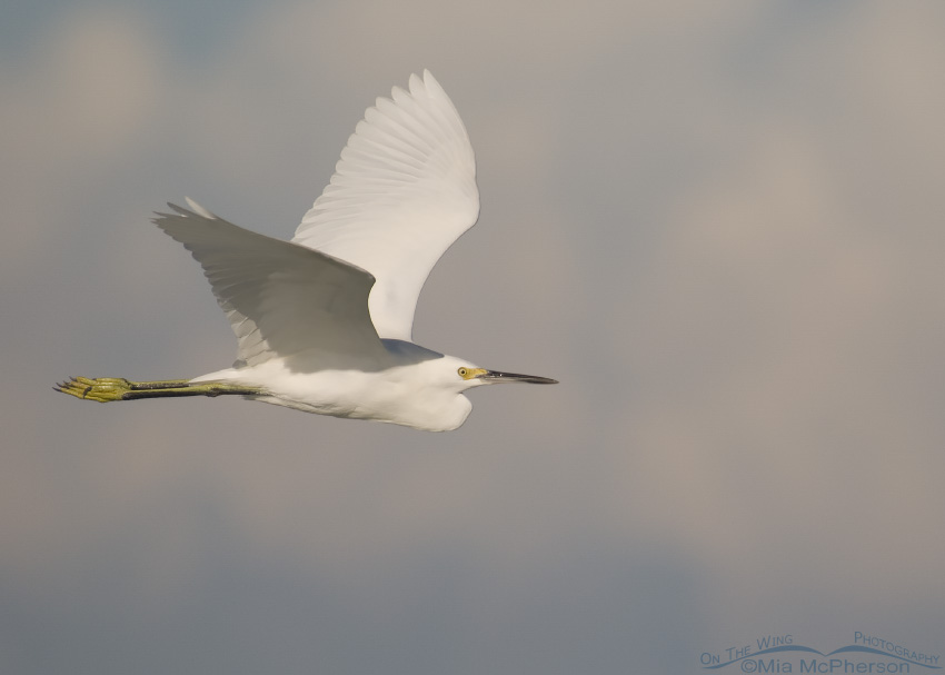 A Snowy Egret in flight with clouds in the distance
