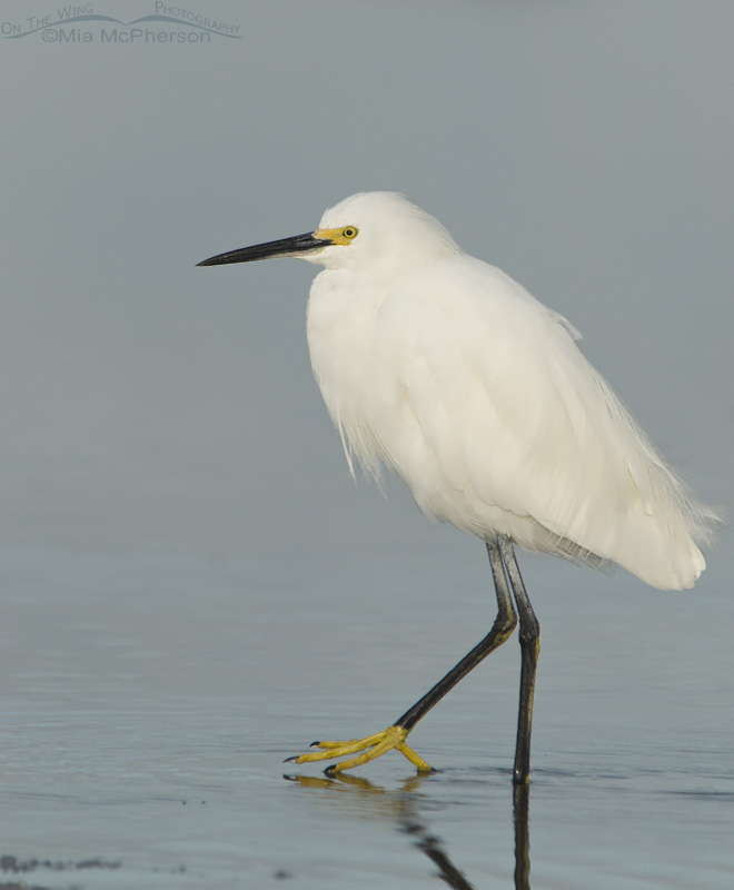Snowy Egret with Golden Slipper showing