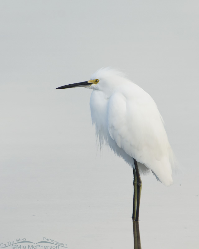 Snowy Egret in low light