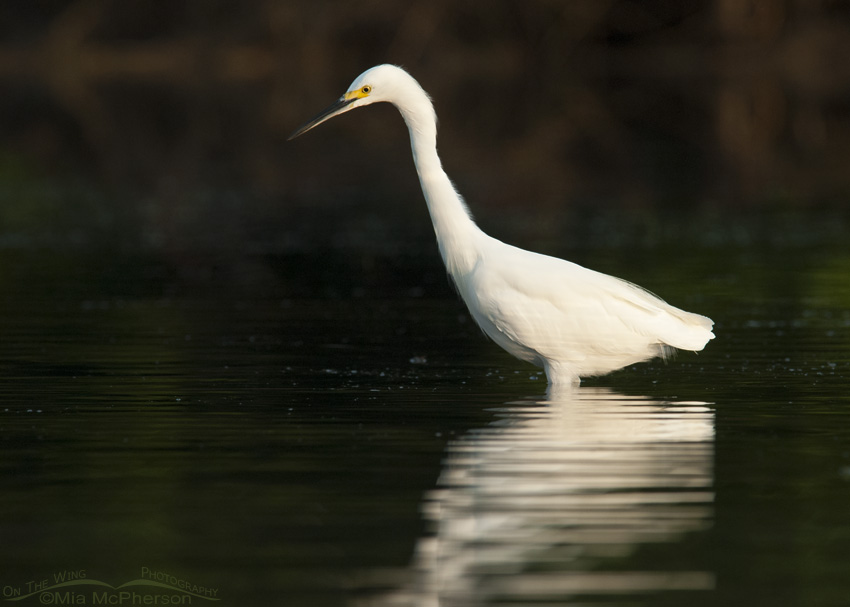 Snowy Egret in dark part of the lagoon