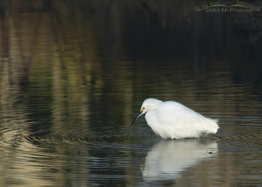 Snowy Egret at Lake Seminole Park